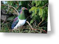Kerehu - New Zealand Wood Pigeon Greeting Card by Amanda Stadther