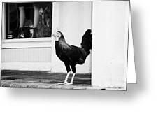 Key West Rooster Roaming Wild Florida Usa The Roosters Were Introduced By Early Pioneers And Now Run Greeting Card by Joe Fox
