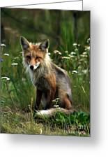 Kit Red Fox Greeting Card by Robert Bales