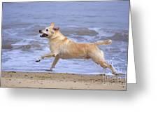 Labrador Cross Dog Running Greeting Card by Geoff du Feu