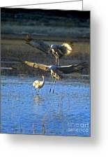 Landing Sandhill Cranes Greeting Card by Steven Ralser