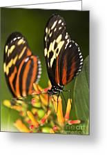 Large Tiger Butterflies Greeting Card by Elena Elisseeva