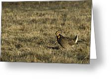 Last Prairie Chicken on the Booming Grounds  Greeting Card by Thomas Young