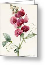 Lathyrus Latifolius Everlasting Pea Greeting Card by Louise D Orleans