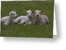 Laughing Lamb Greeting Card by Richard Baker