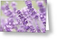Lavender Dreams Greeting Card by Kim Hojnacki