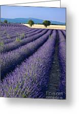 Lavender Fields Greeting Card by Brian Jannsen