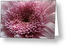 Lavender Gerbera Up Close Greeting Card by Cathy Lindsey