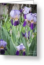 Lavender Iris Group Greeting Card by Teresa Mucha