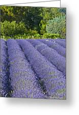 Lavender Rows Greeting Card by Bob Phillips
