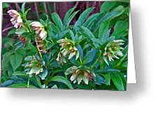 Lenten Roses Greeting Card by Jean Hall