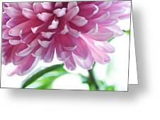 Light Impression. Pink Chrysanthemum  Greeting Card by Jenny Rainbow