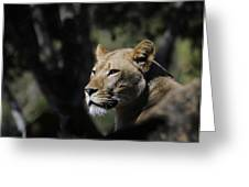 Lion Watching Greeting Card by Keith Lovejoy