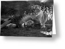 Lions Me And My Guy Greeting Card by Thomas Woolworth