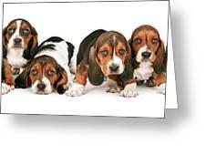 Litter Of Basset Hound Puppies Greeting Card by Susan Schmitz