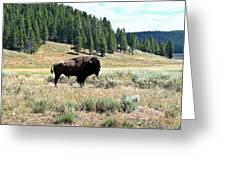 Lone Buffalo Greeting Card by Trisha Shrum Shrader