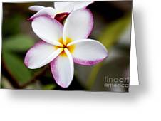 Lone Plumeria Greeting Card by Thanh Tran