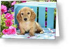 Long Eared Puppy In Front Of Blue Box Greeting Card by Greg Cuddiford
