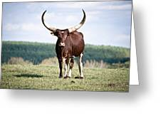 Longhorn Pride Greeting Card by Swift Family