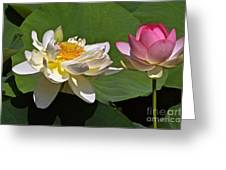 Lotus Pink -- Lotus White And Gold Greeting Card by Byron Varvarigos