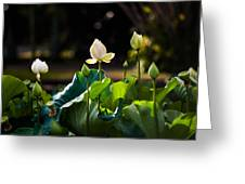 Lotuses In The Evening Light Greeting Card by Jenny Rainbow