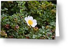 Macartney Rose Greeting Card by Scott Pellegrin