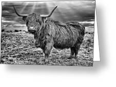Magestic Highland Cow Greeting Card by John Farnan