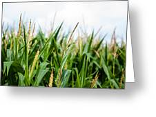Maize On The Field Greeting Card by Frank Gaertner