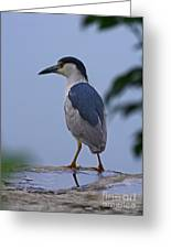 Majestic Black Capped Night Heron At Dusk Greeting Card by Inspired Nature Photography By Shelley Myke