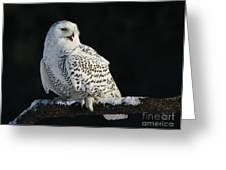 Majestic Whisper - Snowy Owl Greeting Card by Inspired Nature Photography By Shelley Myke