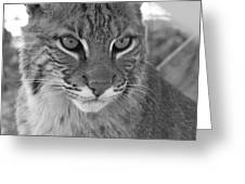 Male Bobcat - Black And White Greeting Card by Jennifer  King