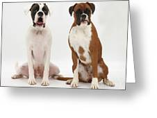 Male Boxer With Female Boxer Dog Greeting Card by Mark Taylor