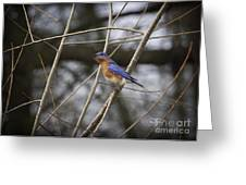 Male Eastern Bluebird Greeting Card by Cris Hayes