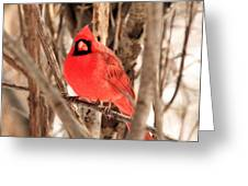 Male Northern Cardinal Greeting Card by Michael Allen