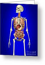 Male Skeleton With Internal Organs Greeting Card by Leonello Calvetti