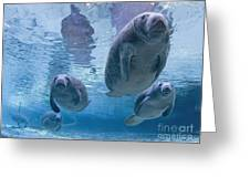 Manatee Parade By Todd Essick Greeting Card by Todd Essick