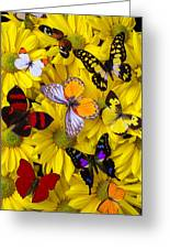 Many Butterflies On Mums Greeting Card by Garry Gay