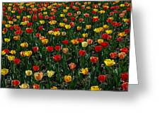 Many Tulips Greeting Card by Raymond Salani III