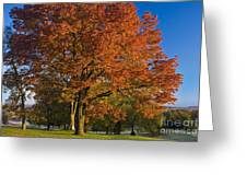 Maple Trees Greeting Card by Brian Jannsen