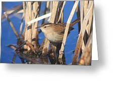 Marsh Wren Greeting Card by John Burk