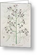 Melia Azedarach From 'phytographie Medicale' By Joseph Roques Greeting Card by L F J Hoquart