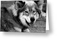 Miley The Husky With Blue and Brown Eyes - Black and White Greeting Card by Michael Braham