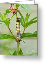 Monarch Caterpillar And Milkweed Greeting Card by Steve Augustin