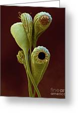 Moss Spore Capsules Greeting Card by Eye of Science