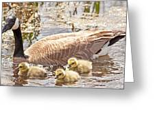 Mother Goose And Goslings Greeting Card by Natural Focal Point Photography