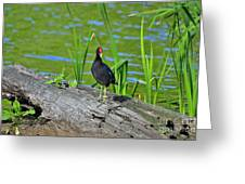 Mouthy Moorhen Greeting Card by Al Powell Photography USA