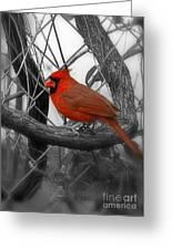 Mr Cardinal -card Greeting Card by Sandra Clark