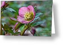 My Wild Xmas Rose Greeting Card by Byron Varvarigos