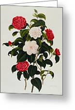 Myrtle Leaved Camellia Greeting Card by Clara Maria Pope
