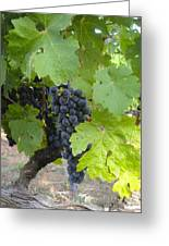 Napa Valley Vineyard Grapes Greeting Card by Jennifer Lamanca Kaufman